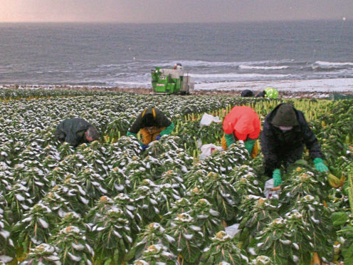 Workers harvesting sprouts.