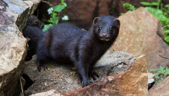 The non-native American Mink