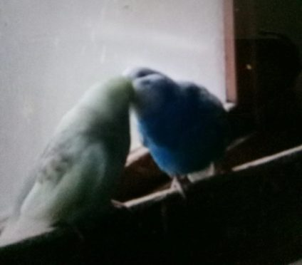 Lovestruck budgies kiss upon being reunited at their Buckie aviary