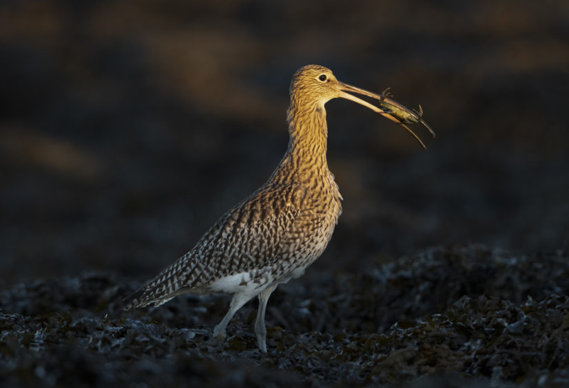 Eurasian Curlew with Shore Crab. Loch Fleet, Sutherland