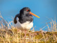 Oystercatchers are among the wading species that have seen a steep decline in population