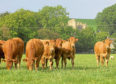 The British Limousin Cattle Society says the project has boosted the accuracy of EBVs.