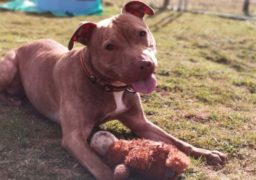 Naomi, a five-year-old Staffordshire bull terrier, is currently in the care of their Aberdeen rescue and rehoming centre