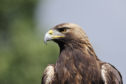 The new tagging system will better protect golden eagles.