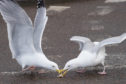 Gulls compete for food in Elgin.