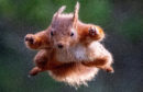 Kenny MacLeod from Nairn snapped a red squirrel in a Superman pose as it jumped through the air.