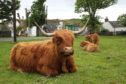 Highland cow sitting in a village field with its calves in  Plockton
