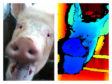 The study is based on previous SRUC findings which showed pigs can signal their intentions to other pigs using facial expressions.