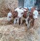 The triplet bull calves.