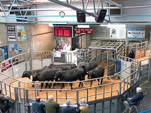 Aberdeen-Angus store cattle sell through the ring at the Thainstone Centre, Inverurie.