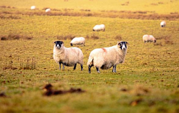 Incidents of sheep rustling increased last year.