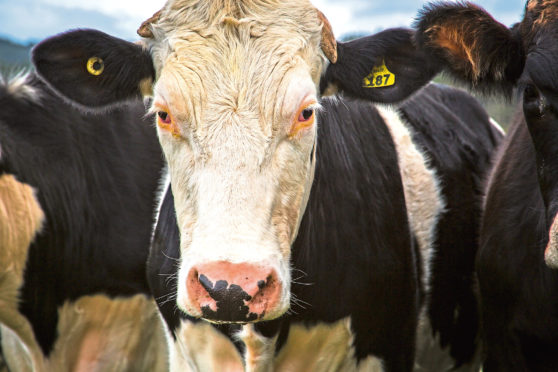 Increased volumes have lowered prime cattle prices in the UK.