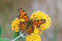 Comma butterfly in Boat of Garten, by Mike Taylor, Butterfly Conservation