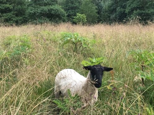 The sheep will graze at a site near the River Deveron