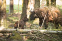Two newborn Mishmi takin calves were born to mum Chimi at the Highland Wildlife Park
