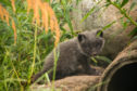 A litter of adorable Arctic foxes have arrived at the Highland Wildlife Park.