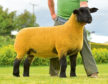 The sale topper was this Ballynacannon gimmer which sold for 6,000gn.