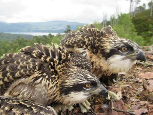 The female chicks were born last month at Loch Arkaig Pine Forest.