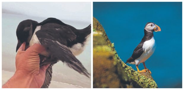 Rob Fray found a baby puffin, left, five miles from a puffin colony