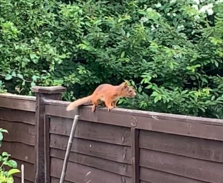 Shock as red squirrel spotted in Aberdeen after decades of being absent from the area | Press and Journal