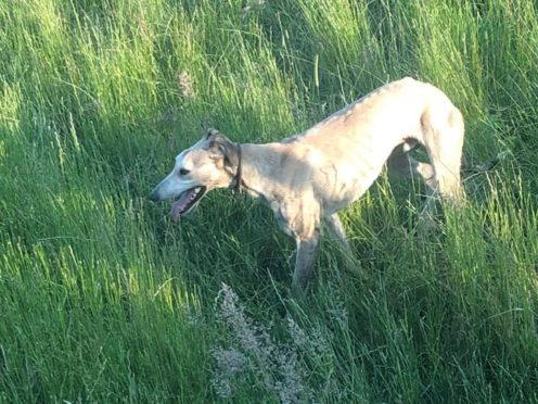 A dog, believed to be a greyhound, involved in alleged sheep worrying.