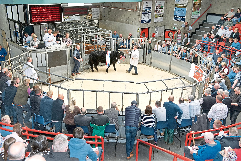 Finest commercial cattle set for Thainstone Spectacular