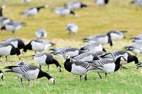 Barnacle geese. Picture by Lorne Gill.