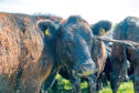An increased number of flies is leading to more summer mastitis cases in cattle.