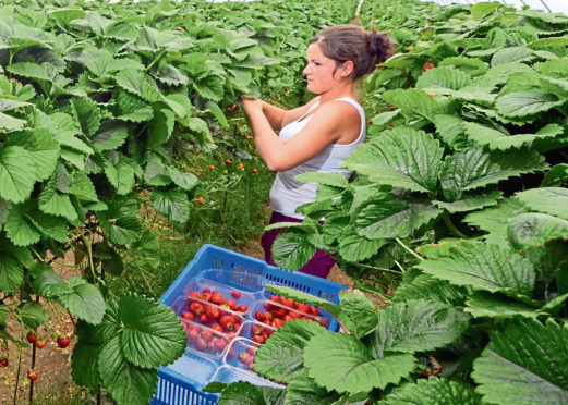 Strawberry picker Katie Jelem at Barra Berries in Oldmeldrum, Aberdeenshire. Twelve months ago these strawberry pickers were forced to wear plastic bags over their feet because muddy fields were destroying their shoes. Now the 60 pickers at Barra Berries in Oldmeldrum, Aberdeenshire, are basking in sunshine as they collect a bumper batch of strawberries which have arrived in abundance thanks to the recent heatwave. With temperatures regularly reaching 25C in the town over the last few weeks, owner David Stephen reckons they will yield £300,000 from 100 tonnes of strawberries this year - a whopping 25% more than the total picked last term.See Northscot story 'BEERY GOOD'. 18/07/2013