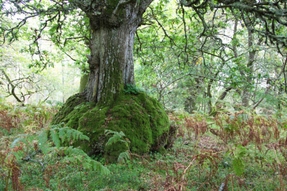 One of the north-east's magical trees. Pic: Discover Scottish Gardens.