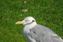 The gull was spotted in Elgin's Cooper Park.