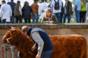 Highland Cattle are shown on day one of The Royal Highland Show