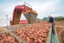 Harvesting potatoes, levelling boxes by hand - September, Lincolnshire  Potato box
