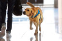 A Border Agency sniffer dog in action at an airport.