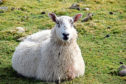 Forecasts suggest a high liver fluke risk in Scotland this autumn.