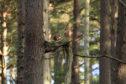 Red squirrel after release in Ledmore and Migdale Woods, October 2019 © Mat Larkin