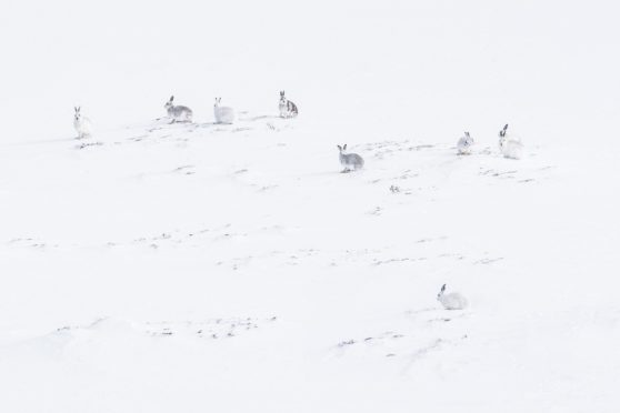 Mountain hares Invercauld Estate, credit Steven Rennie Photography