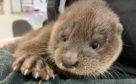 Baby otter found wandering in Inverurie.
