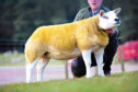 The Knock gimmer which made 20,000gn.  Pic by Catherine MacGregor.