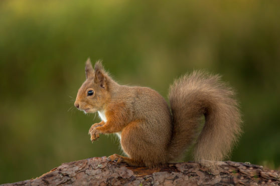 Red squirrel making a grand return to Aberdeen | Press and Journal