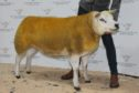Robbie Wilson's Texel gimmer sold for 4,000gn.