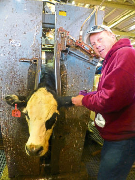 Mike Martz implants cattle with growth hormones