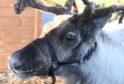 One of the Ythanbank Reindeer herd
